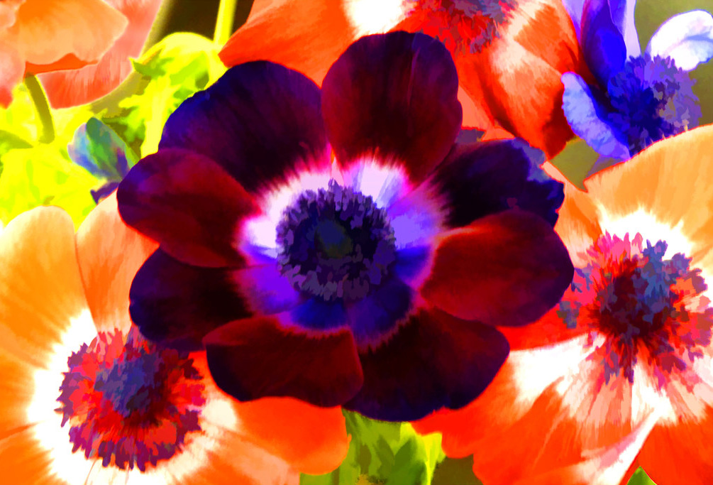 Anemones by Vernon Hyde - Flickr Creative Commons